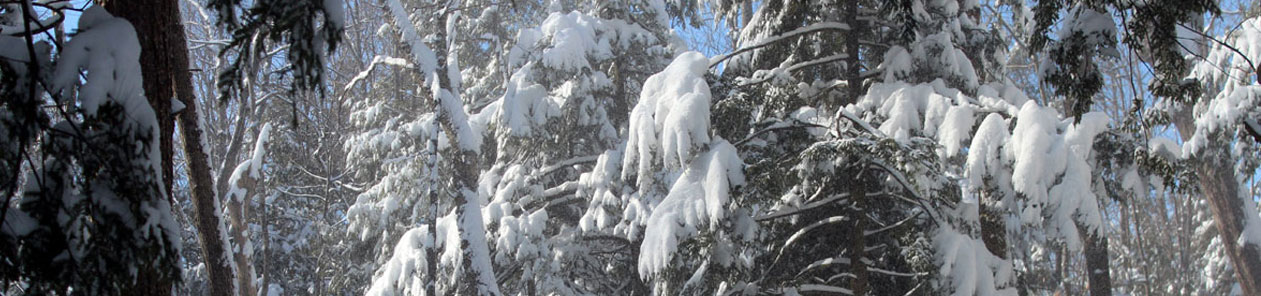 pano-snowtrees2